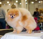 Toilettage de chien de Pomeranian Images libres de droits