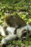 Toilettage de deux singes Photographie stock libre de droits