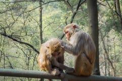 Toilettage de deux singes de macaque Images libres de droits