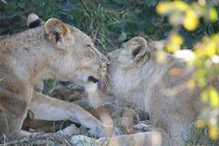Toilettage de lions Images libres de droits