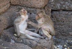 Toilettage de Macaques de consommation de crabe Photos libres de droits