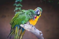 Toilettage de perroquets Photo libre de droits