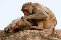 Toilettage de singes Photo stock