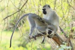 Toilettage de singes de Vervet Image libre de droits