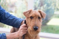 Toilettage de Terrier irlandais Image libre de droits