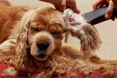 Toilettage des cheveux du chien photographie stock