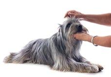 Toilettage du chien de berger pyrénéen Images libres de droits