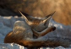 Toilettage mignon de renard rouge image libre de droits