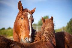 Toilettage mutuel chez des chevaux de châtaigne Animal social affectueux b Images stock