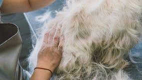 Toilettant la montagne Terrier blanc occidentale Chiens blancs de toilettage Plumaison d'un vieux manteau chez les chiens Orienta Photos stock