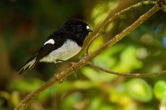 Toitoi macrocephala Petroica - северный остров Tomtit - птица леса Новой Зеландии miromiro эндемичная сидя на ветви в лесе стоковое изображение