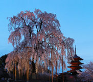 Toji一棵巨型佐仓树的寺庙和开花著名五层塔的夜视图在京都日本 免版税图库摄影