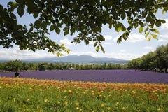 Tokachidake-Gebirgszug wird hinter Blumen herein gesehen Stockfoto