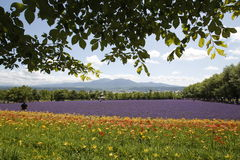 Tokachidake mountain range is seen past flowers in. Farm Tomita in Nakafurano town, in Hokkaido, northern Japan stock photo