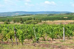 Vineyard in Hungary Stock Photos