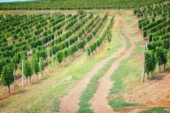 Tokaj, Hungary. Wine growing region. Vineyard in summer Royalty Free Stock Images