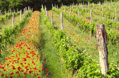 Tokaj wine region in Hungary. Vineyard in spring. Poppies. Hungarian countryside. Stock Photography