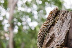 Tokajski gekon przylega w drzewo na zamazanym tle zdjęcia royalty free