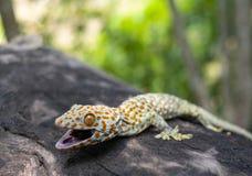 Tokajski gekon przylega w drzewo na zamazanym tle obraz stock
