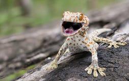 Tokajski gekon przylega w drzewo na zamazanym tle fotografia stock