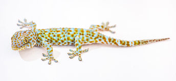 Tokajski gekon Tajlandia Obrazy Stock