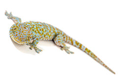 Tokajski gekon Tajlandia Obraz Royalty Free
