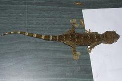 Tokajski gekon Topdown fotografia stock