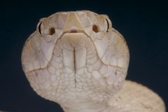 Tokara island pit viper / Protobothrops tokarensis Stock Photo