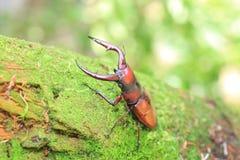Tokara red stag beetle Royalty Free Stock Photos