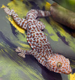 tokay壁虎的gekko 免版税库存照片