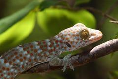 tokay gecko Royaltyfri Fotografi