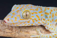 Tokay gecko. The Tokay Gecko, Gekko gecko, is a nocturnal arboreal gecko, ranging from northeast India and Bangladesh, throughout Southeast Asia, Philippines to stock image