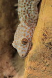 Tokay gecko. The detail of tokay gecko (gekko gecko royalty free stock photo
