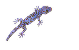 Tokay Gecko. Large Tokay Gecko isolated on white background royalty free stock photo