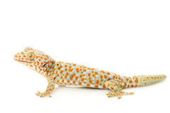 Tokay Gecko. (Gekko gecko) on white background royalty free stock photo