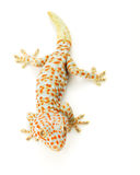 Tokay Gecko Stockfotos