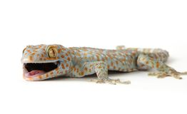 Tokay gecko. The blue orange spotted tokay gecko royalty free stock photos