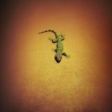 Tokay-Gecko auf Wand stockfoto