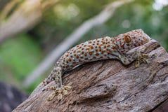Tokay gecko stock image