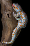 Tokay gecko on driftwood royalty free stock photography