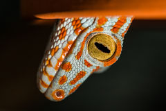 Tokay gecko Stock Photos