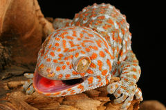 Tokay Gecko (Gecko gecko). The Tokay is colorful and aggressive. It bites without provocation and will hang on until it decides to let go. The bite can be Stock Photography