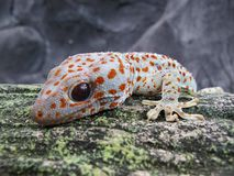 Tokay Gecko Gecko Gecko Close Up View royalty free stock photos