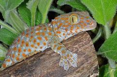 Tokay Gecko Gekko. Perched on log royalty free stock photography