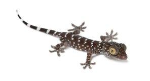 Tokay Gecko, Gekko gecko. Portrait against white background royalty free stock photography