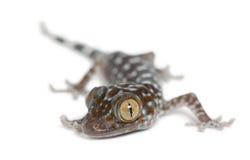 Tokay Gecko, Gekko gecko Stock Image
