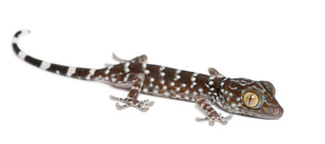 Tokay Gecko, Gekko gecko Stock Photos