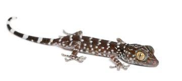 Tokay Gecko, Gekko gecko. Portrait against white background stock photos