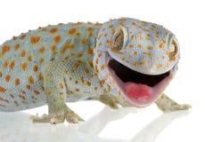 Tokay gecko - Gekko gecko. In front of a white background stock photos