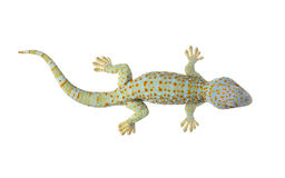 Tokay gecko - Gekko gecko. In front of a white background royalty free stock image
